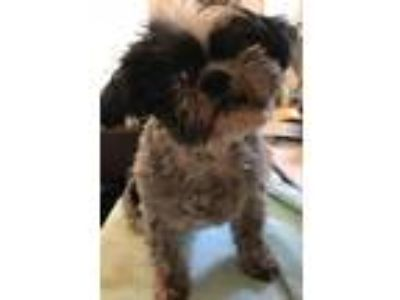 Adopt Kasia a Gray/Silver/Salt & Pepper - with Black Shih Tzu / Mixed dog in