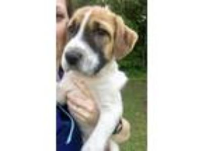 Adopt Duke a Great Pyrenees, Hound