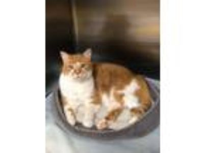Adopt Taz a Domestic Short Hair