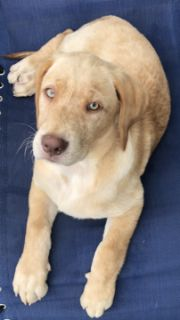 Labrador Retriever PUPPY FOR SALE ADN-95218 - Pure Labrador