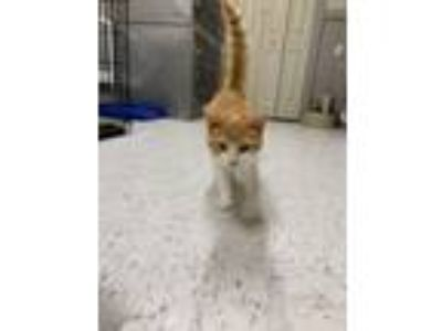 Adopt Yankey Doodle a Domestic Short Hair