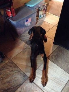Sharp Black &Tan Doberman