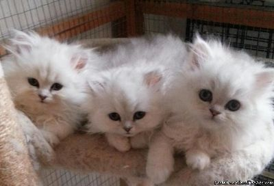 Courageous gvhgjh Persian kittens for sale