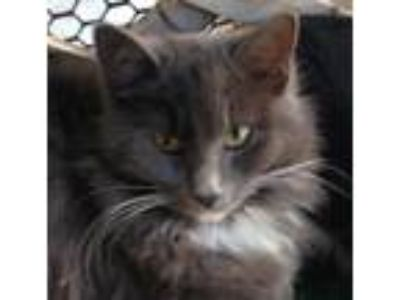 Adopt Sissy a Gray or Blue Domestic Mediumhair (medium coat) cat in San Jose