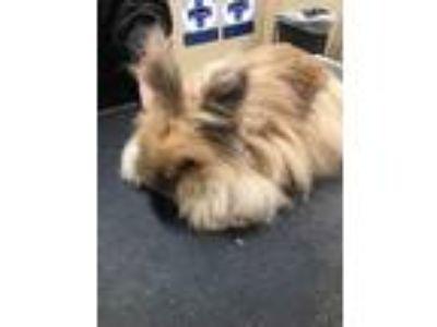 Adopt BUTTERSCOTCH a Angora, English / Mixed rabbit in Chicopee, MA (25349836)
