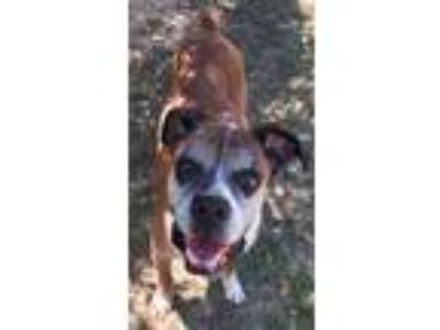 Adopt Loverboy a Tan/Yellow/Fawn Boxer / Mixed dog in Hurst, TX (25658524)