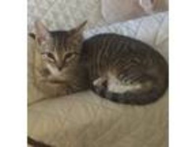 Adopt ZEPLYN (Zara) a Domestic Short Hair