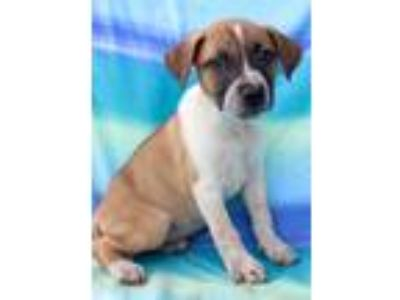 Adopt Sheryl Crow CR a Tricolor (Tan/Brown & Black & White) Anatolian Shepherd /