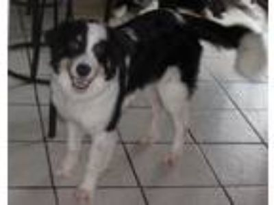 Adopt Lainey a Tricolor (Tan/Brown & Black & White) Border Collie / Mixed dog in