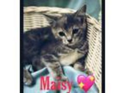 Adopt Maisy a Gray or Blue Domestic Shorthair / Domestic Shorthair / Mixed cat