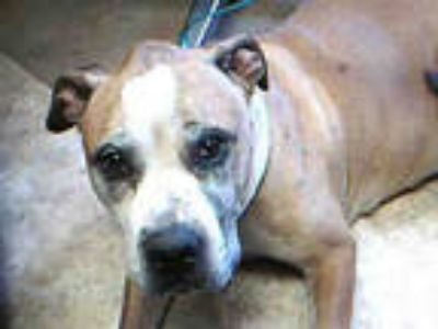 Adopt SHELBY a Tan/Yellow/Fawn - with White Boxer / American Pit Bull Terrier /