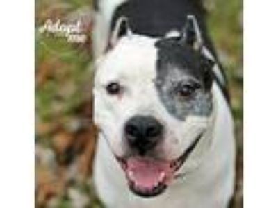 Adopt Princess a White - with Black Pit Bull Terrier / Mixed dog in Lyons
