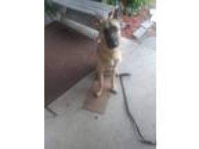 Adopt Sasha a Black - with Tan, Yellow or Fawn German Shepherd Dog / German