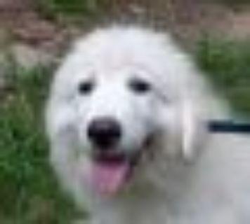 Antonio Great Pyrenees Dog