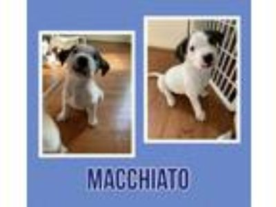 Adopt Macchiato a Border Collie / Cattle Dog / Mixed dog in Tower City