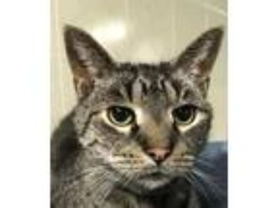 Adopt Journey a Brown Tabby Domestic Shorthair / Mixed (short coat) cat in