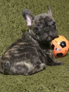 French Bulldog PUPPY FOR SALE ADN-94797 - Male Brindle French Bulldog
