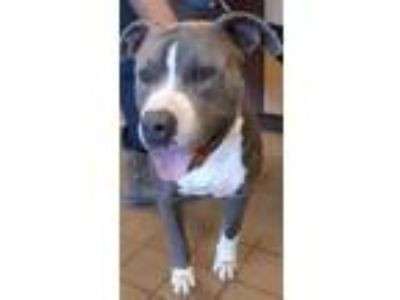 Adopt CHUBBS a Gray/Blue/Silver/Salt & Pepper American Pit Bull Terrier / Mixed