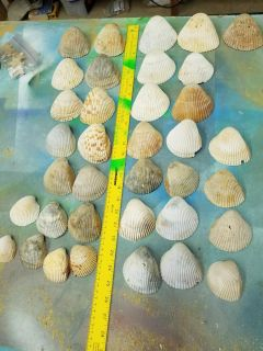 Lot of cockle shells from North and South Carolinas