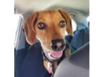 Adopt Hero/Hobbes-Foster Home Needed a Beagle