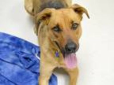 Adopt Donnie a German Shepherd Dog / Retriever (Unknown Type) / Mixed dog in