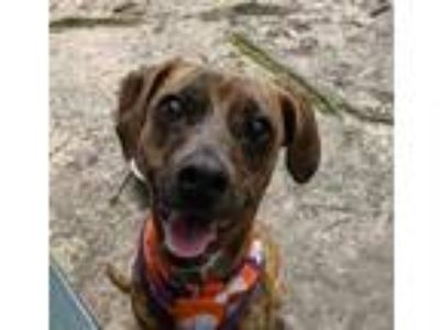 Adopt Bonita a Brindle Terrier (Unknown Type, Small) / Mixed dog in Spartanburg