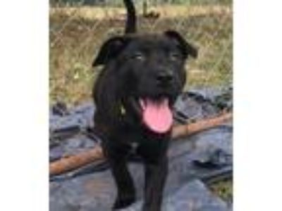 Adopt Fonzie a Black St. Bernard / Labrador Retriever / Mixed dog in Gillsville