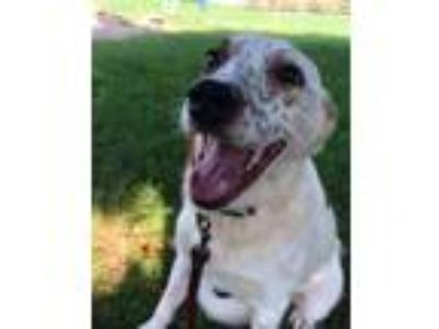 Adopt Lilac a Cattle Dog
