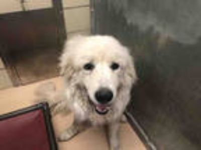 Adopt PENTO* a White Great Pyrenees / Mixed dog in Garland, TX (25323791)