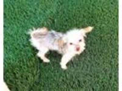 Adopt PIXIE a Poodle, Yorkshire Terrier