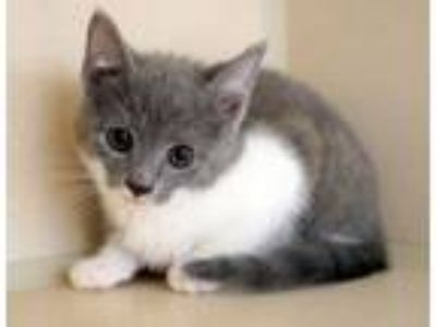 Adopt Lilac is a doll! So sweet and kissable! a Russian Blue, Turkish Van