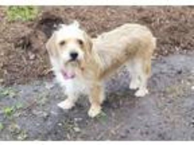 """Adopt """"Lindy"""" - Sweet and shy little gal! a Cairn Terrier, Dachshund"""