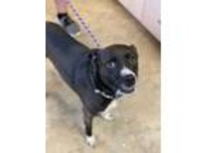 Adopt Butters a Black Collie / Terrier (Unknown Type, Small) / Mixed dog in