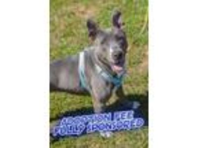Adopt Layla a Gray/Blue/Silver/Salt & Pepper American Pit Bull Terrier / Mixed
