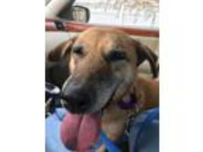 Adopt Merry a German Shepherd Dog, Collie