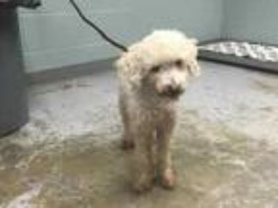 Adopt 42257310 a White Poodle (Miniature) / Mixed dog in Greenville