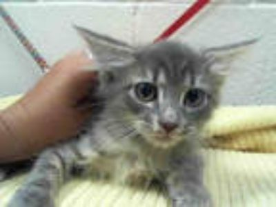 Adopt a Gray, Blue or Silver Tabby Maine Coon / Mixed (long coat) cat in Moreno