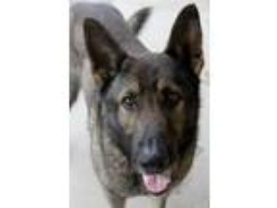 Adopt Duke GSD Davis Lonestar a Brown/Chocolate - with Black German Shepherd Dog