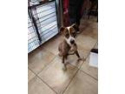 Adopt Harlan a Brown/Chocolate American Pit Bull Terrier / Hound (Unknown Type)
