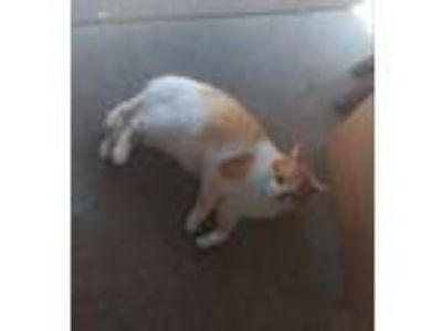 Adopt Geo a American Shorthair, Domestic Short Hair