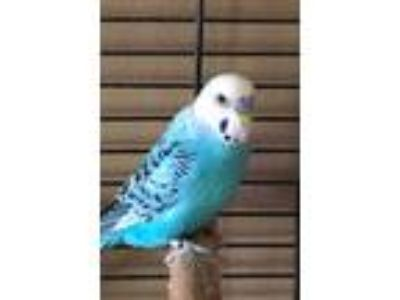 Adopt Beast a Blue Parakeet - Other bird in Belleville, NJ (25635682)