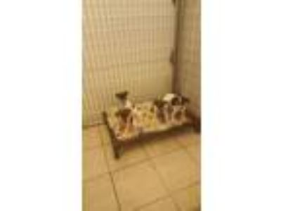 Adopt Litter o f 4 Rat Terrier puppies a Rat Terrier