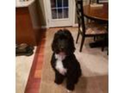Adopt Tucker a Black Bernese Mountain Dog / Poodle (Standard) / Mixed dog in