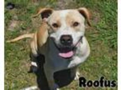 Adopt Roofus a Pit Bull Terrier