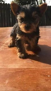 our gorgeous Yorkie Puppies adorable and Free Adoption i have 2 nice baby face Yorkie Puppies