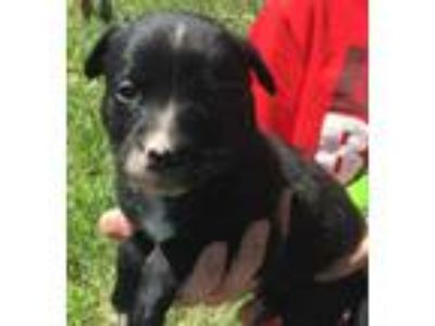 Adopt River(tagged for rescue) a Black Shepherd (Unknown Type) / Mixed dog in