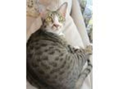 Adopt Lilly a Gray, Blue or Silver Tabby American Shorthair cat in Lakeland
