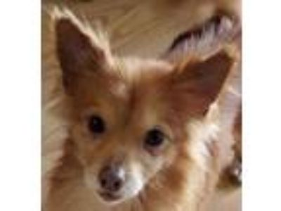 Adopt Phoenix a Red/Golden/Orange/Chestnut - with White Pomeranian / Spaniel