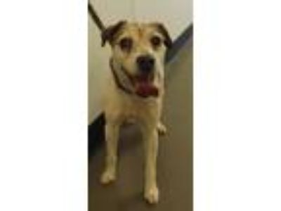 Adopt Sd-14 Isabella a Jack Russell Terrier, Terrier