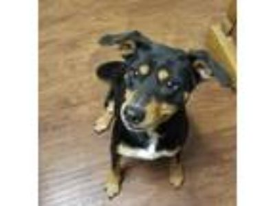 Adopt Lola a Miniature Pinscher, Mixed Breed